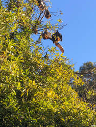 Flying Foxes 02 by FalconerB