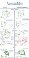 Canine v Feline Face Anat Tut. by Daesiy