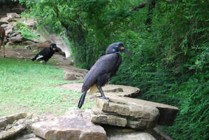 Abyssinian Ground Hornbills by ManitouWolf