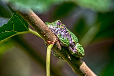 Tree Frog by DontHideTheMadness