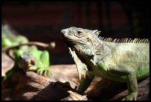 lizards by markheathcote