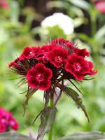 Dianthus barbatus 1 by benoldfield