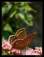 spoty butterfly by adypetrisor