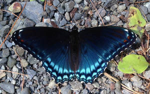 Dark Blue Butterfly with Light Blue Lower Wingtips by magpienerd
