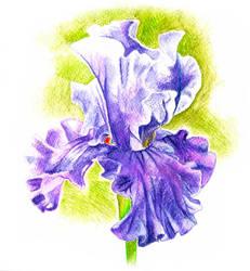 Iris by th3blackhalo