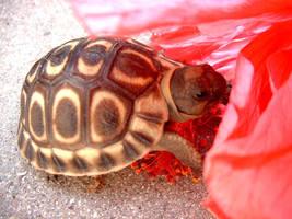 Tortoise by Pipkin82