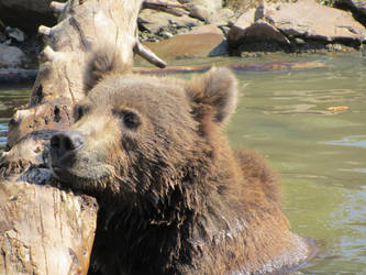 Alaskan Bear by olgakofti