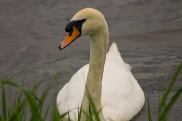 Swan by M-Eddy