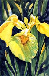 yellow iris by jennomat
