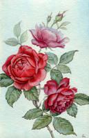 red roses by jennomat