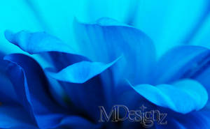 Blue Daisy Bathed In Springs Sunlight by 33M