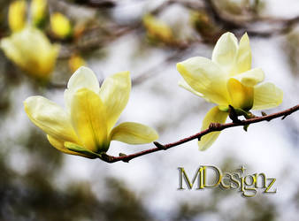 Lemon Yellow Magnolia by 33M