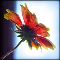 Une fleur 2 by Renoux