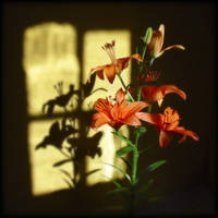 Lys by Renoux