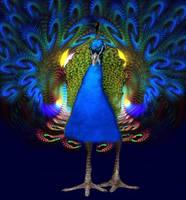 Proud Peacock by eReSaW