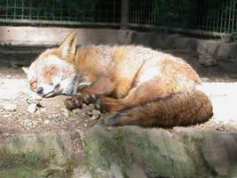 fox by amendoin