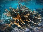 Acropora Coral by atreyu917