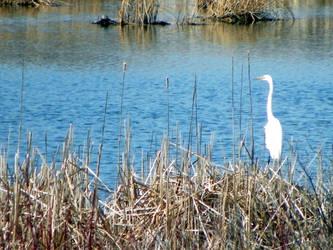 Common Egret by kbcollins
