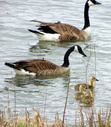 Goose Family 3 by kbcollins