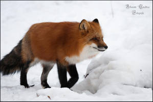 Fox in winter by ArkanumTenebrae