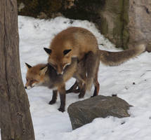 Mating Foxes 2 by JRL5
