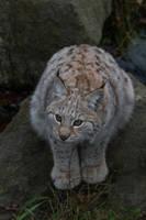 Leopard-Lynx Cub by JRL5