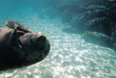 Manatee by Bluedolphins
