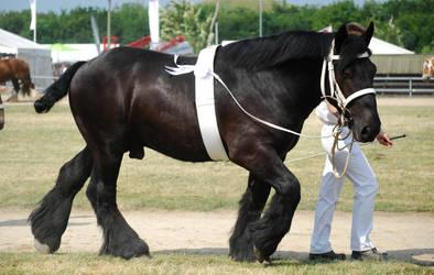 Jutland stallion by pippiersoed