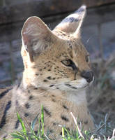 serval by bydandphotography