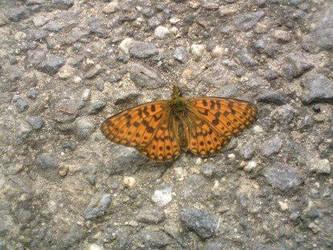 Butterfly by Monyszek