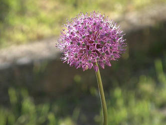 Allium aflatunense by Monyszek