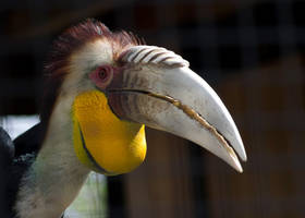 Wreathed Hornbill by Shiryu37