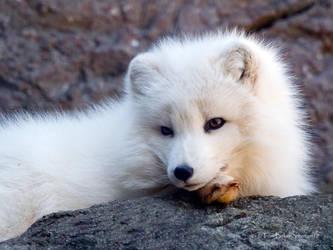 arctic foxy by photom17