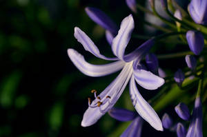 African Agapanthus by roarbinson