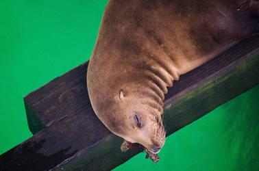 Sea Lion by roarbinson