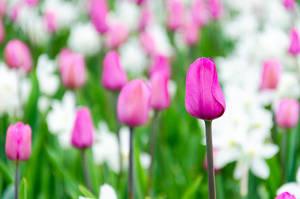 Pink Tulip by roarbinson