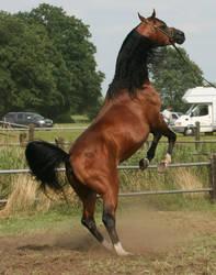 Brown Arabian Rearing II by Jello88