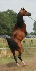 Brown Arabian Rearing III by Jello88