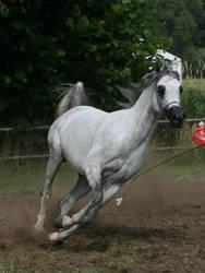 Grey Arabian Canter by Jello88