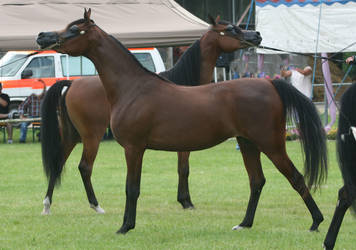 Bay Arabians Posing by Jello88