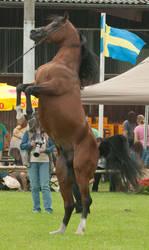 Brown Arabian Rearing V by Jello88