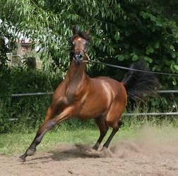 Brown Arabian Canter II by Jello88