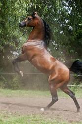 Brown Arabian Rearing VI by Jello88