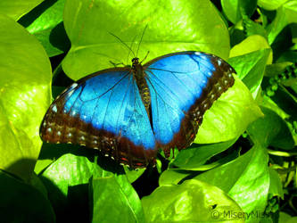Big Blue Morpho by Michies-Photographyy