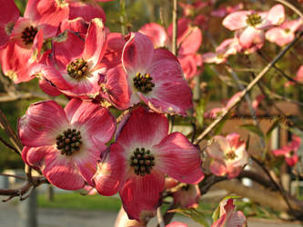 Pink Dogwood by Michies-Photographyy