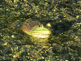 Staring Frog by Michies-Photographyy
