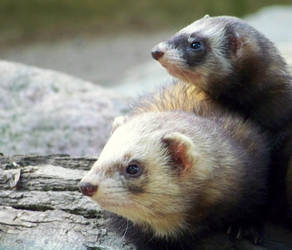ferret incoming by web189