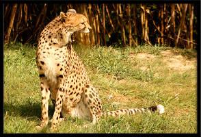 cheetah1 by redbeard31