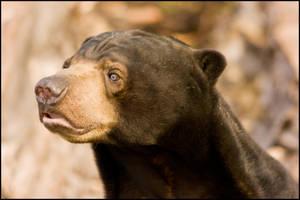 bear7.1 by redbeard31
