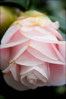 camellia6 by redbeard31